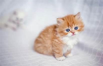 Persian Ginger Cat Kitten Eyes Cats Animals