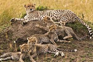 Cheetahs Lie Around Like Housecats  Saving Energy For Big