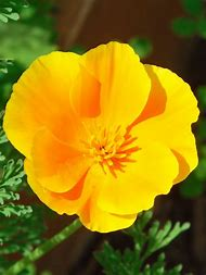 Best golden poppy ideas and images on bing find what youll love california state flower golden poppy mightylinksfo