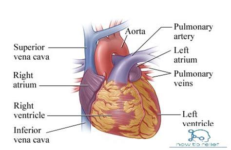 heart anatomy cardiac chamber arterial supply