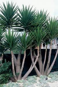Yucca – Plant – Plantslive – Buy Plants Online India