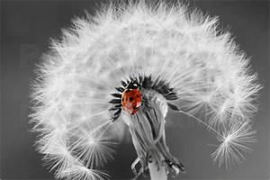 Bild Pusteblume Schwarz Weiß : marienk fer auf pusteblume poster von heike hultsch ~ Bigdaddyawards.com Haus und Dekorationen