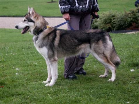 northern inuit dog psy wygladajace jak wilki
