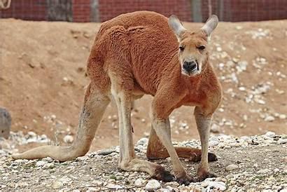 Kangaroo Wikipedia Zoo Wiki