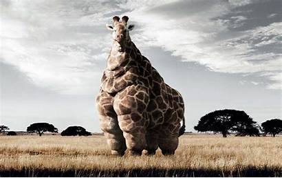 Giraffe Backgrounds Fat Cool Pc Wallpapers Funny