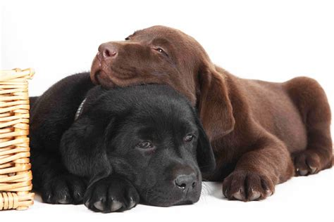 Warum finden wir hunde süss? labbi - labrador - süß oder?? Foto & Bild | tiere, haustiere, hunde Bilder auf fotocommunity