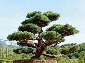 Arbre En Nuage : comment tailler ses arbres en nuage elle d coration ~ Melissatoandfro.com Idées de Décoration
