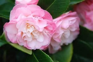 Comment Planter Un Camélia : o quand et comment planter son cam lia in my french garden ~ Melissatoandfro.com Idées de Décoration