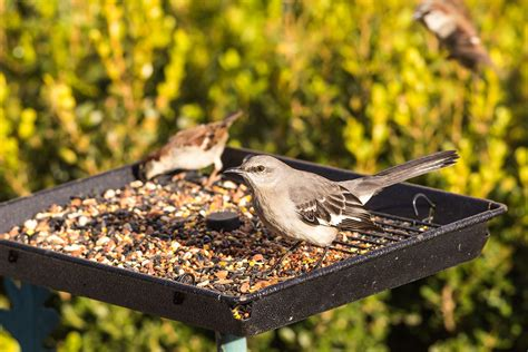 Bird Feeder Problems Sunflower Seed Toxins And Its Effect