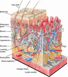 Structure Of Human Skin  Notes  The Outer Layer Of The Epidermis  The