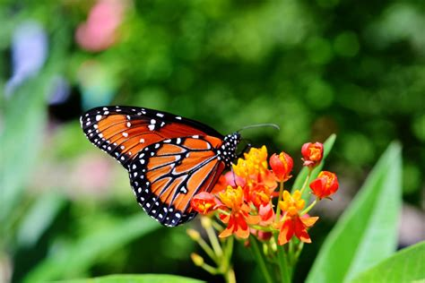monarch butterfly macro photography print