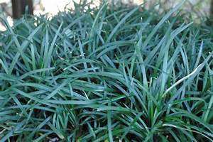 Mondo Grass | Sperling Nursery & Gift Shop