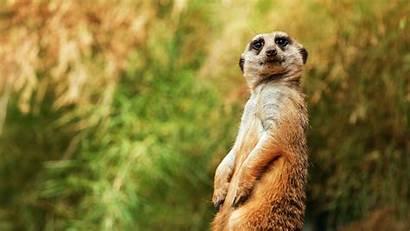 Funny Animal Desktop Backgrounds Meerkat Sitting