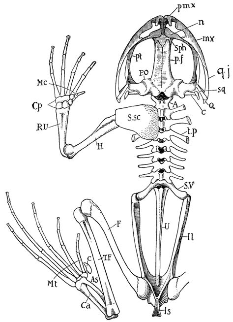 frog skeleton clipart