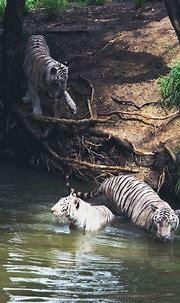 Carnivora Felidae | Tiger in water, Animals, White tiger