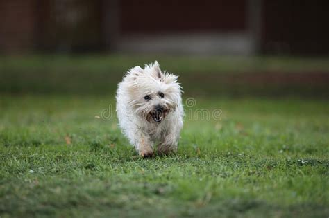 hellbrauner steinhaufen terrier hund stockfoto bild von