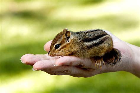 Baby Chipmunk Flickr Photo Sharing