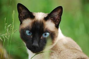 cat pics the siamese cat an talkative treasure pets4homes