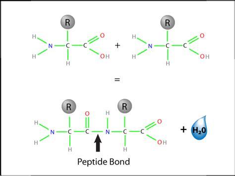 how do amino acids bond together quora
