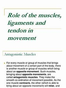 Role Of The Muscles  Ligaments And Tendon