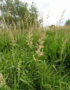 Reed Canary-grass - Phalaris arundinacea | NatureSpot