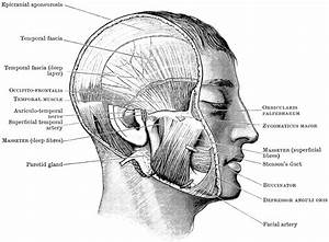 Head Showing Mastication Muscles