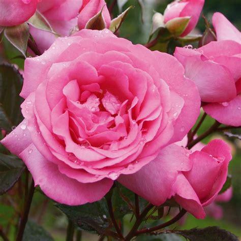 rosier buisson parfum 233 pot 4l rosiers jardinerie truffaut