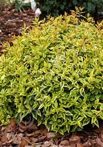 Abelia Grandiflora Kaleidoscope : abelia grandiflora 39 kaleidoscope 39 ~ Melissatoandfro.com Idées de Décoration