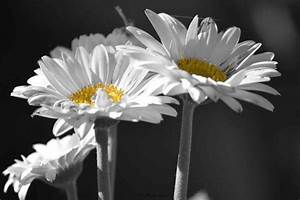 Black And White Photography Flowers With Color Accents ...