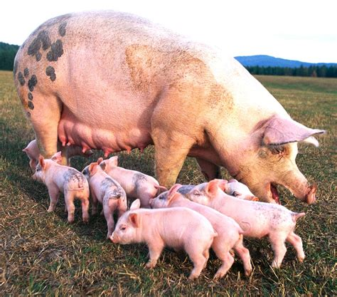 Information & Guide About Pig Farming in Nigeria | Modern ...