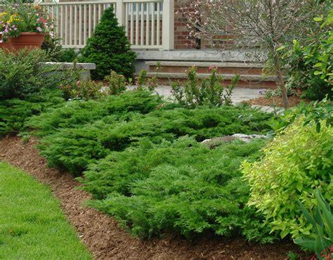 calgary carpet juniper   growing  wide spreading