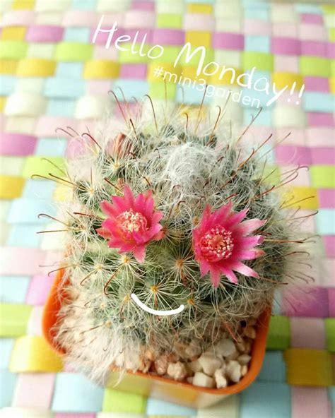 #Mammillaria #bocasana #mini3garden #succulents #cactus # ...