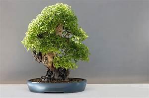 Pflege Bonsai Baum Indoor : bonsai baum alle information zur pflege und haltung ~ Michelbontemps.com Haus und Dekorationen