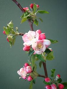 Inkspired Musings  Apple Blossom Promises