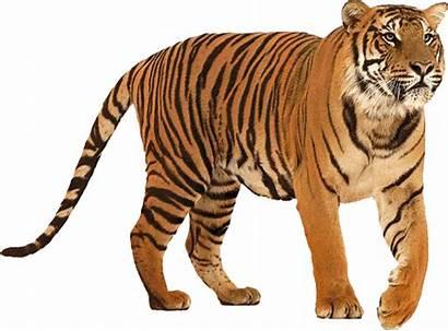 Tiger Transparent Pluspng