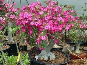 Rosa del deserto pianta Piante grasse Caratteristiche della rosa del deserto