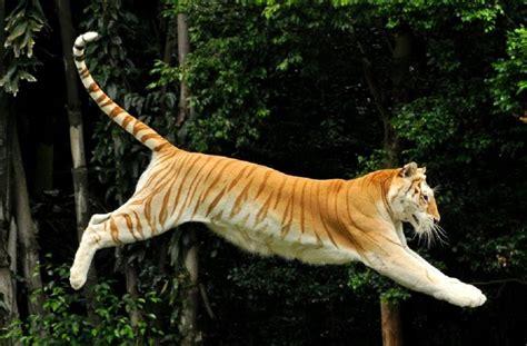 Best Images About Tiger Pinterest Snow