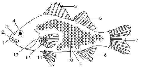 fish external anatomy diagram fish free engine image for