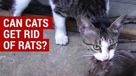 cats  rid  rats natural rodent control