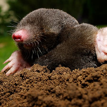 moles animal mole animal facts pictures diet character behavior information animals adda