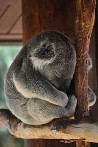Sleeping koala | Baby animals | Pinterest