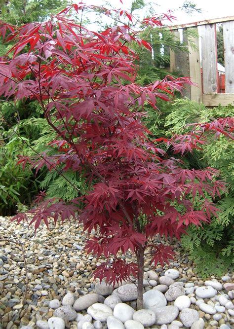 small outdoor trees alberi da giardino alcuni consigli e suggerimenti per lo 5534