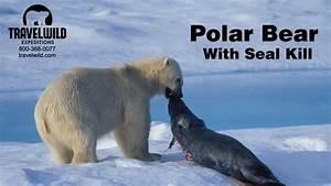 Polar Bear Attack Seal