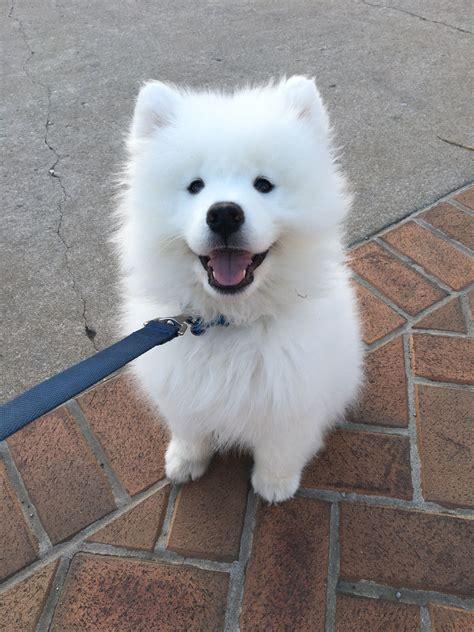 Pin By Pyc6002 On Samoyd Dogs Nopinterestcom