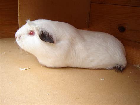 Online Guinea Pig Care
