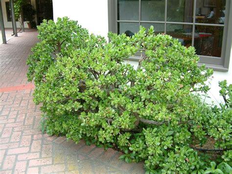 low maintenance shrubs low maintenance shrubs