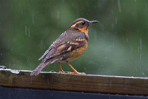 bird in the rain pacific northwest feederwatch