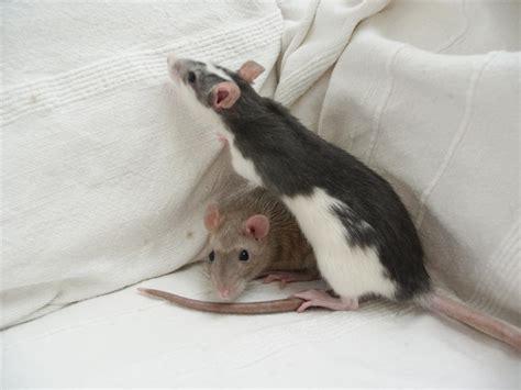 rats as pets file two female pet rats jpg wikipedia