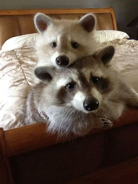pet racoon 17 best images about raccoons on pinterest baby raccoon pets and cat food