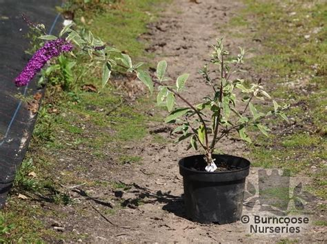 can i grow buddleia in a pot buddleja davidii harlequin from burncoose nurseries